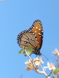 Photograph of a Monarch butterfly - in a way the resurrection of a caterpillar.