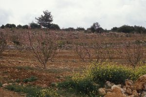 Picture of fruit trees in a typical field near Beth Shemesh, Israel.